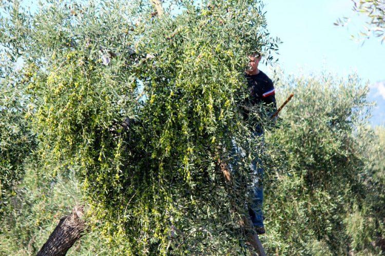 Raccolta olive 2016/2017 Masseria Papone